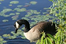 Free Canadian Goose Stock Photography - 5518472