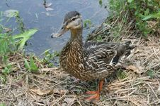 Free A Female Malard Duck Stock Photography - 5518522