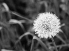 Free White Dandelion Stock Photography - 5519012