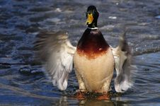 Free Green Head Duck Stock Images - 5519144
