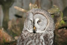 Free Grey Owl Royalty Free Stock Photo - 5519165