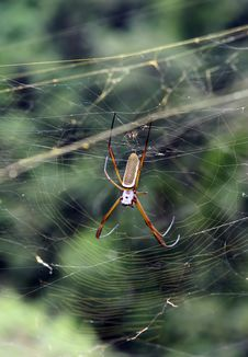 Free Ecuadorian Spider Stock Photography - 5519392