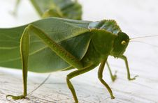 Free Grasshopper Leaf Bug Stock Photo - 5519470