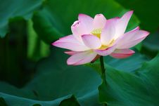 Free Lotus Royalty Free Stock Photography - 5519617