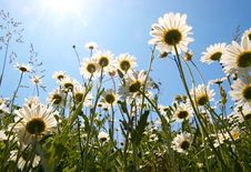 Free White Daisies On Blue Sky Background Stock Photography - 5519912