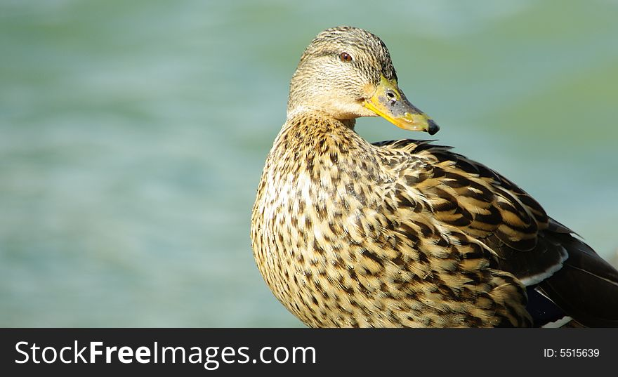 Female duck