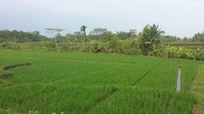 Free Indonesia Paddy Field Royalty Free Stock Images - 55141359