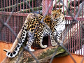 Free A Jaguar Is In A Captivity Royalty Free Stock Photos - 5520608