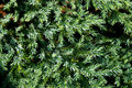 Free Green Thuja And Water Droplet Royalty Free Stock Photo - 5522905