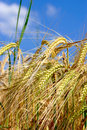 Free Golden Grain Royalty Free Stock Photography - 5524437