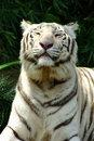 Free White Tiger Royalty Free Stock Photos - 5528838