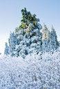 Free Pine Tree Under Snow Royalty Free Stock Photo - 5529955