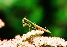 Free Mantis Stock Images - 5520154