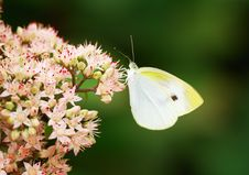 Free White Butterfly Royalty Free Stock Photography - 5520167