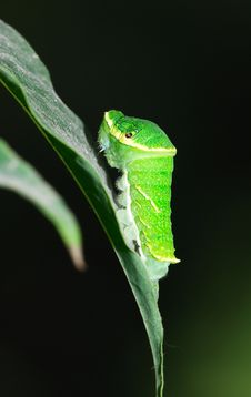 Free Papilio Larva Royalty Free Stock Image - 5520176