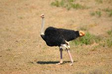 Ostrich Male (Struthio Camelus) Stock Images