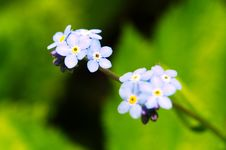 Free Forget Me Not Stock Image - 5521651