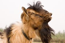 Free Milch Goat Royalty Free Stock Photos - 5521788