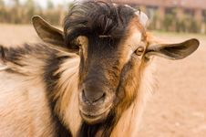 Free Milch Goat Stock Photos - 5521883