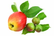 Free One Big  And Some Little Apples Royalty Free Stock Images - 5521889