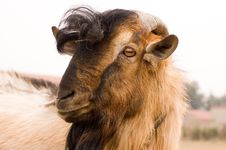 Free Milch Goat Royalty Free Stock Image - 5521906