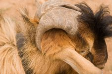 Free Milch Goat Royalty Free Stock Image - 5521936