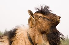 Free Milch Goat Royalty Free Stock Photography - 5521947