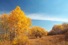 Free Golden Silver Birch Stock Image - 5522001