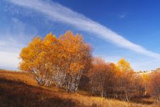 Free Golden Silver Birch Royalty Free Stock Photography - 5522007
