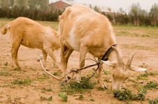 Free Milch Goat Stock Images - 5522074
