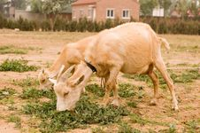 Free Milch Goat Royalty Free Stock Photography - 5522127