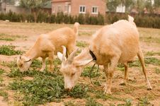 Free Milch Goat Royalty Free Stock Image - 5522146