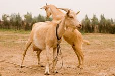 Free Milch Goat Royalty Free Stock Photos - 5522158