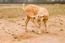 Free Milch Goat Royalty Free Stock Photo - 5522185