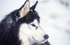 Free Husky With Snow Stock Photo - 5522680