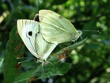 Free Two Butterflies Stock Photos - 5522683