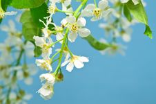 Free Bird Cherry Tree Stock Photo - 5523130