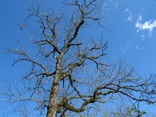 Free Tree At Early Spring Royalty Free Stock Images - 5523149