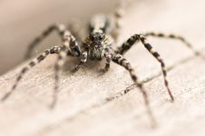 Free Wolf Spider Royalty Free Stock Photography - 5523587