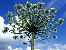 Free Umbrella Flower Stock Image - 5523691
