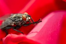 Free The Fly Royalty Free Stock Images - 5523879