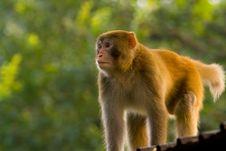 Free Monkey Royalty Free Stock Photography - 5524327