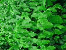 Wet Ivy Leaves With Water Drops Royalty Free Stock Image