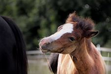 Free Welsh Pony Foal Royalty Free Stock Photo - 5525365