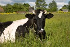 Free Spotty Cow Royalty Free Stock Photography - 5525387
