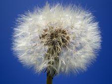 Free Dandelion Stock Image - 5526271