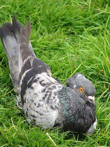 Free Pigeon Bird Royalty Free Stock Photography - 5526517