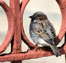 Free Sparrow Rests On Red Fence Royalty Free Stock Image - 5526806