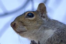 Portrait Of The Squirrel Royalty Free Stock Photos