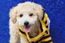 Cutie Poodle Dog Stock Photography